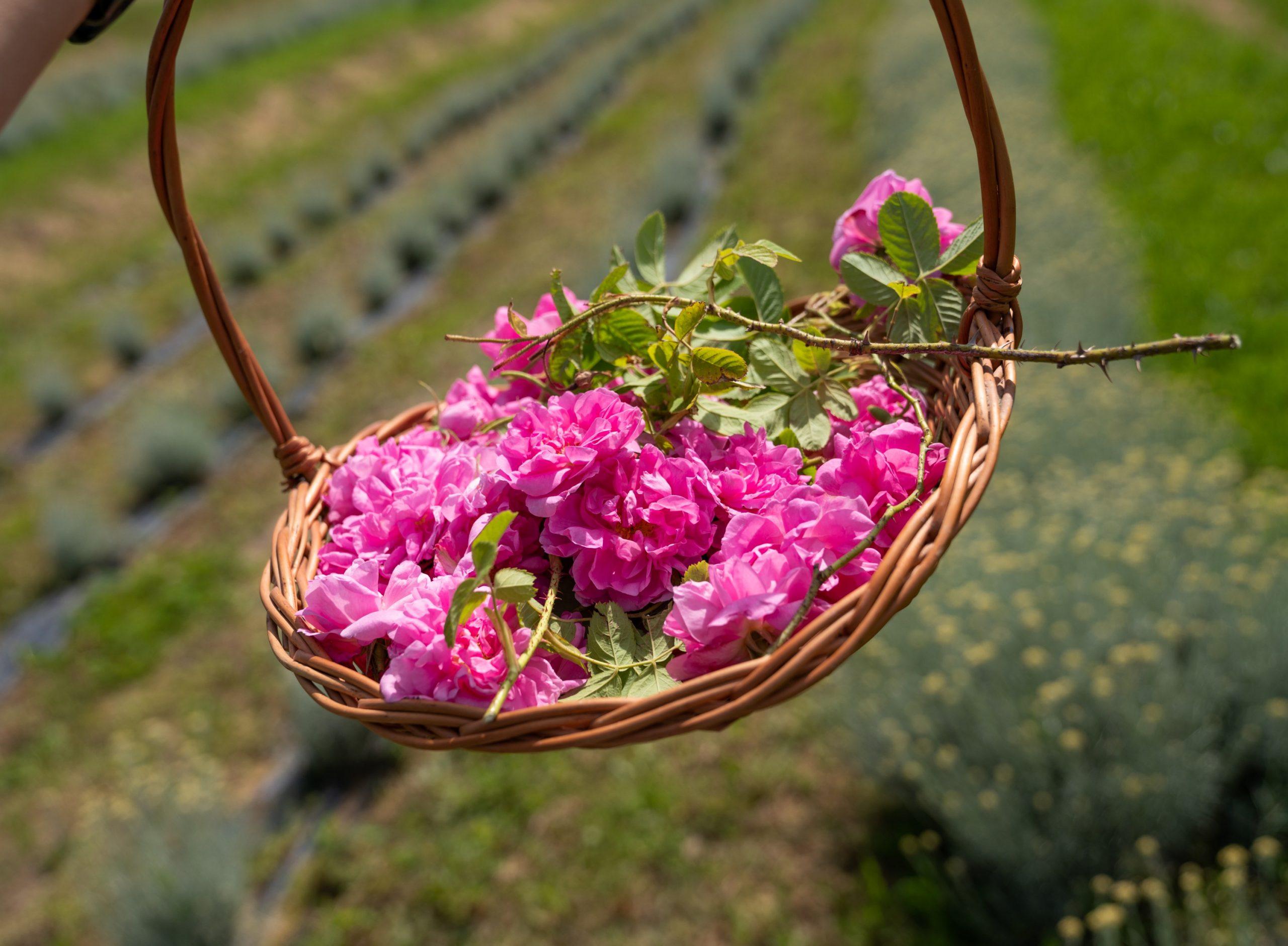 sveže vrtnice
